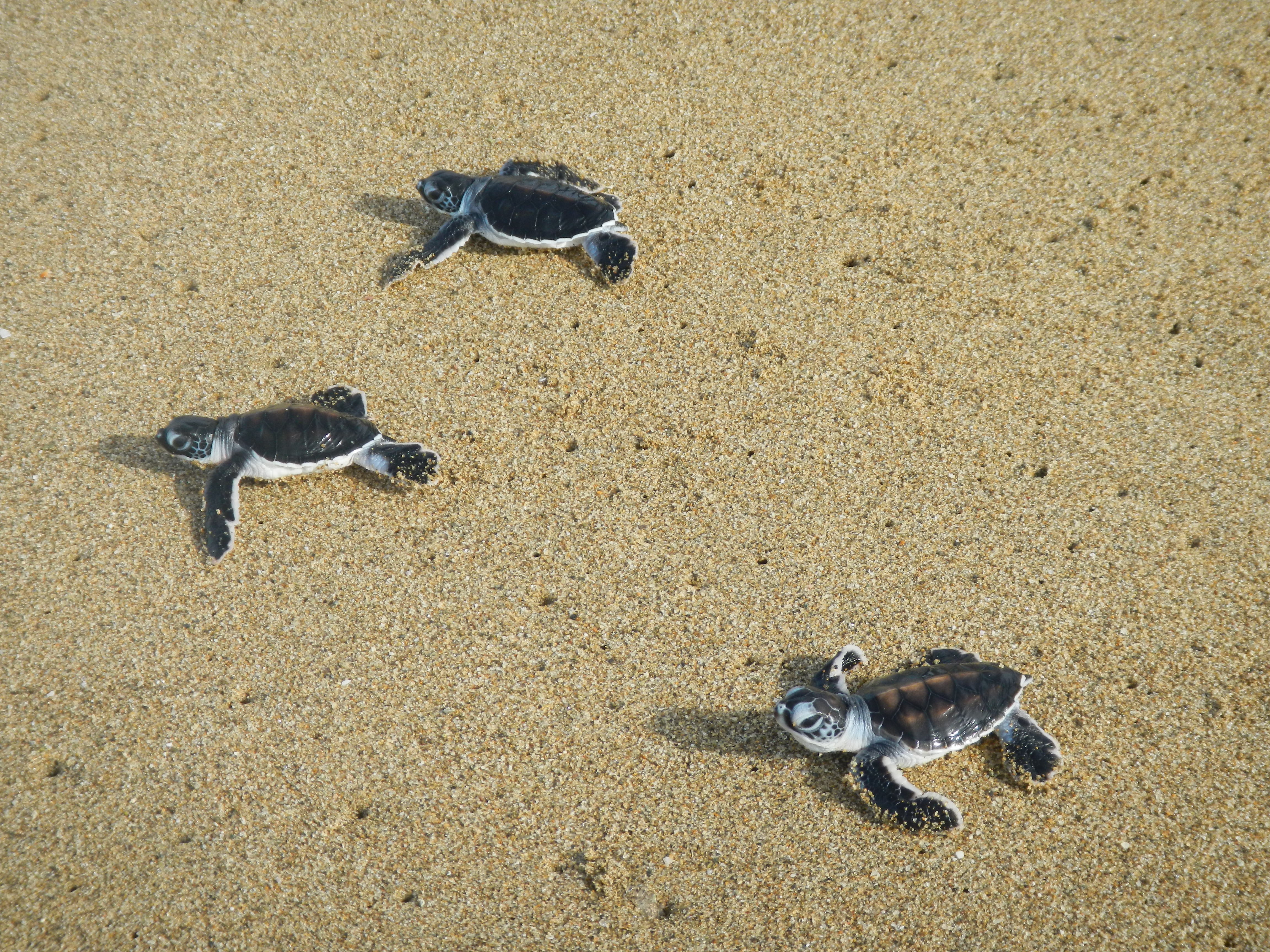 Eclosion Tortues